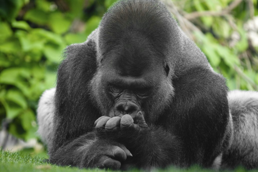 shutterstock_Gorilla